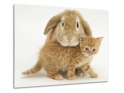 British Shorthair Red Spotted Kitten with Sandy Lop Rabbit-Jane Burton-Metal Print