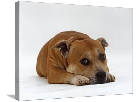 Red Staffordshire Bull Terrier Bitch, 3 Years Old, Lying with Head Down-Jane Burton-Stretched Canvas Print