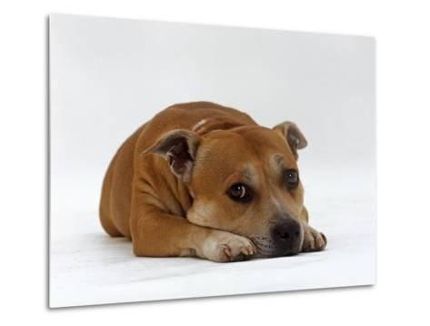 Red Staffordshire Bull Terrier Bitch, 3 Years Old, Lying with Head Down-Jane Burton-Metal Print