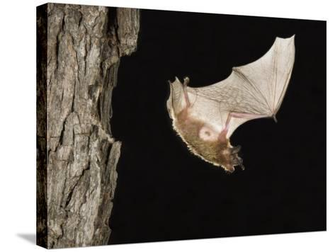 Evening Bat Flying at Night from Nest Hole in Tree, Rio Grande Valley, Texas, USA-Rolf Nussbaumer-Stretched Canvas Print