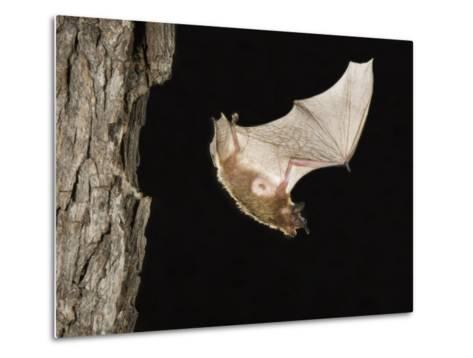 Evening Bat Flying at Night from Nest Hole in Tree, Rio Grande Valley, Texas, USA-Rolf Nussbaumer-Metal Print