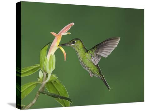 """Green-Crowned Brilliant Female in Flight Feeding on """"Snakeface"""" Flower, Central Valley, Costa Rica-Rolf Nussbaumer-Stretched Canvas Print"""