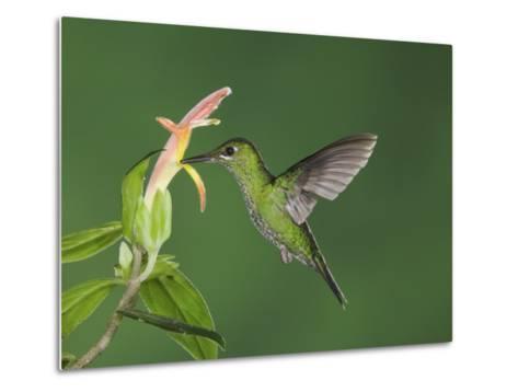 "Green-Crowned Brilliant Female in Flight Feeding on ""Snakeface"" Flower, Central Valley, Costa Rica-Rolf Nussbaumer-Metal Print"