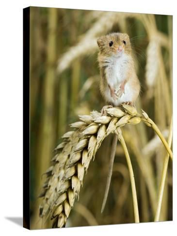 Harvest Mouse Standing Up on Corn, UK-Andy Sands-Stretched Canvas Print