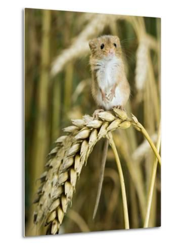 Harvest Mouse Standing Up on Corn, UK-Andy Sands-Metal Print