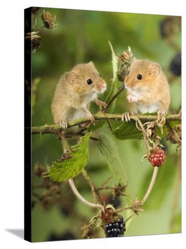 Two Harvest Mice Perching on Bramble with Blackberries, UK-Andy Sands-Stretched Canvas Print