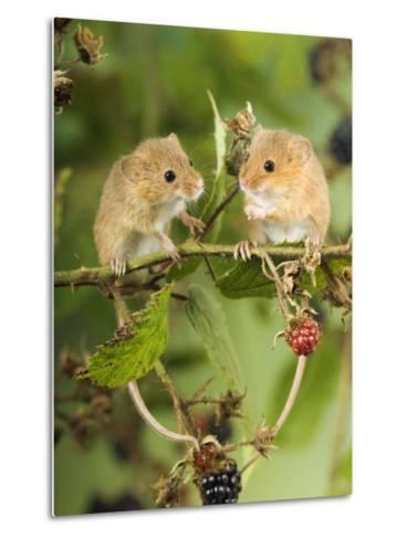Two Harvest Mice Perching on Bramble with Blackberries, UK-Andy Sands-Metal Print