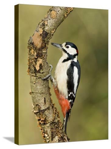 Great Spotted Woodpecker Male on Branch, Hertfordshire, UK, England, February-Andy Sands-Stretched Canvas Print
