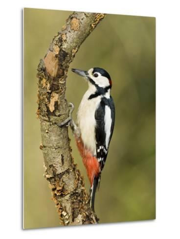 Great Spotted Woodpecker Male on Branch, Hertfordshire, UK, England, February-Andy Sands-Metal Print