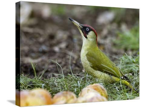 Green Woodpecker Male Alert Posture Among Apples on Ground, Hertfordshire, UK, January-Andy Sands-Stretched Canvas Print