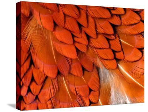 Male Pheasant Feathers, Devon, UK-Ross Hoddinott-Stretched Canvas Print