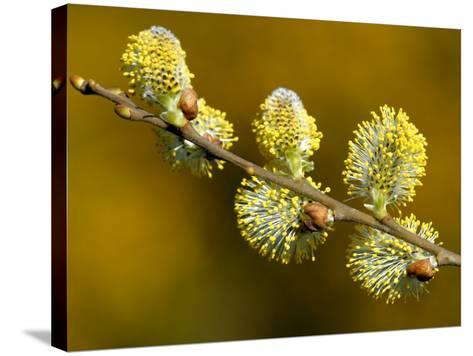 Sallow Pussy Willow Catkins, North Cornwall, UK-Ross Hoddinott-Stretched Canvas Print