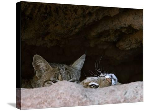 Two American Bobcats Peering over Rock in Cave. Arizona, USA-Philippe Clement-Stretched Canvas Print