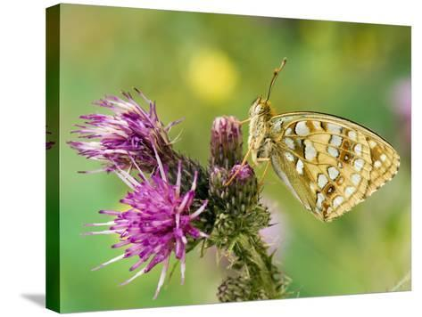 High Brown Fritillary Butterfly on Thistle, UK-Andy Sands-Stretched Canvas Print