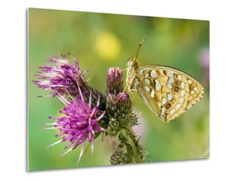 High Brown Fritillary Butterfly on Thistle, UK-Andy Sands-Metal Print
