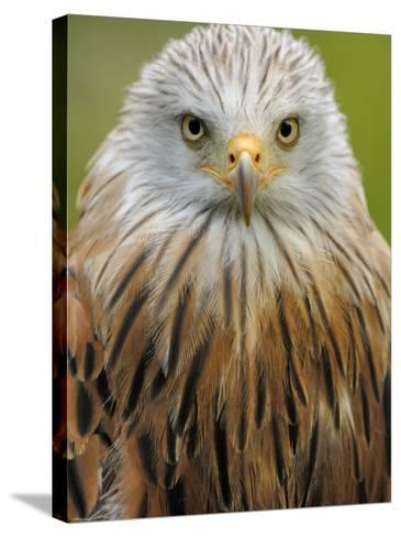Red Kite, Iucn Red List of Endangered Species Captive, France-Eric Baccega-Stretched Canvas Print