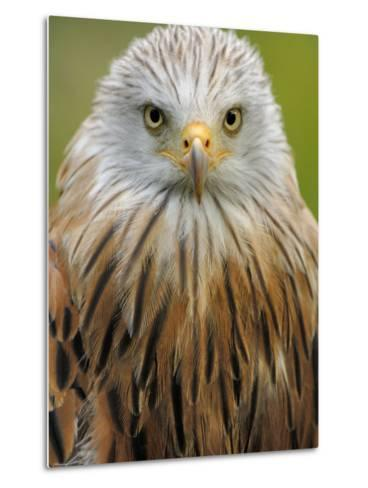 Red Kite, Iucn Red List of Endangered Species Captive, France-Eric Baccega-Metal Print