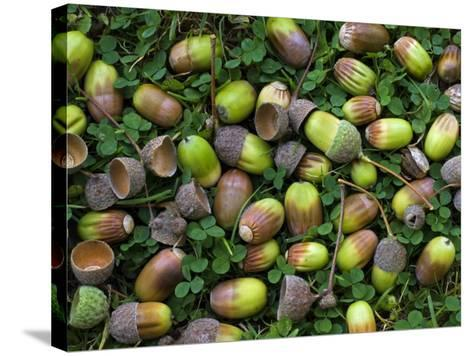 English Oak Tree Acorns on Forest Floor, Belgium-Philippe Clement-Stretched Canvas Print