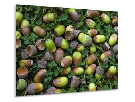 English Oak Tree Acorns on Forest Floor, Belgium-Philippe Clement-Metal Print