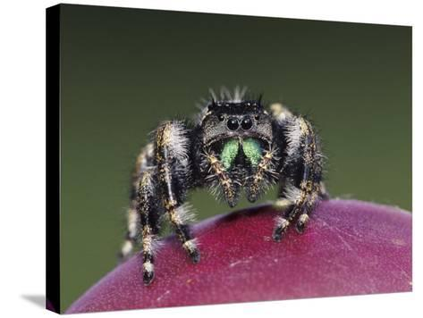 Daring Jumping Spider Adult on Fruit of Texas Prickly Pear Cactus Rio Grande Valley, Texas, USA-Rolf Nussbaumer-Stretched Canvas Print