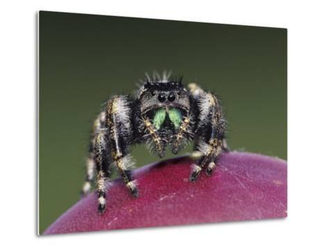 Daring Jumping Spider Adult on Fruit of Texas Prickly Pear Cactus Rio Grande Valley, Texas, USA-Rolf Nussbaumer-Metal Print