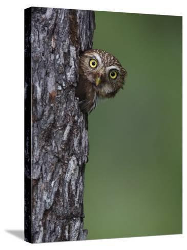 Ferruginous Pygmy Owl Adult Peering Out of Nest Hole, Rio Grande Valley, Texas, USA-Rolf Nussbaumer-Stretched Canvas Print