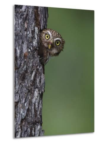 Ferruginous Pygmy Owl Adult Peering Out of Nest Hole, Rio Grande Valley, Texas, USA-Rolf Nussbaumer-Metal Print