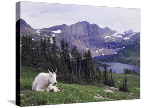 Mountain Goat Adult with Summer Coat, Hidden Lake, Glacier National Park, Montana, Usa, July 2007-Rolf Nussbaumer-Stretched Canvas Print