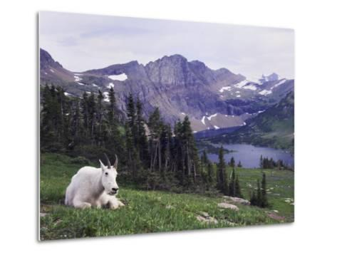 Mountain Goat Adult with Summer Coat, Hidden Lake, Glacier National Park, Montana, Usa, July 2007-Rolf Nussbaumer-Metal Print