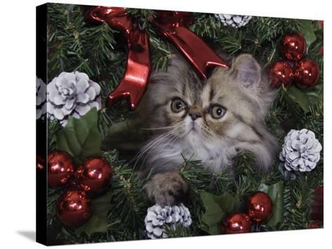 Persian Cat Brown Tabby Kitten Amongst Christmas Decorations, Texas, USA-Rolf Nussbaumer-Stretched Canvas Print