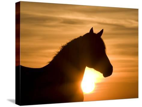 Silhouette of Wild Horse Mustang Pinto Mare at Sunrise, Mccullough Peaks, Wyoming, USA-Carol Walker-Stretched Canvas Print