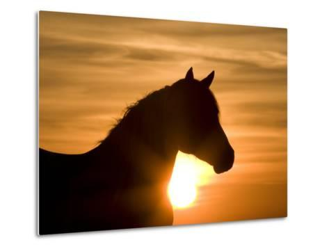 Silhouette of Wild Horse Mustang Pinto Mare at Sunrise, Mccullough Peaks, Wyoming, USA-Carol Walker-Metal Print
