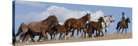 Cowboy Herding Quarter Horse Mares and Foals, Flitner Ranch, Shell, Wyoming, USA-Carol Walker-Stretched Canvas Print