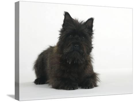 Black Cairn Terrier Lying Down with Head Up-Petra Wegner-Stretched Canvas Print
