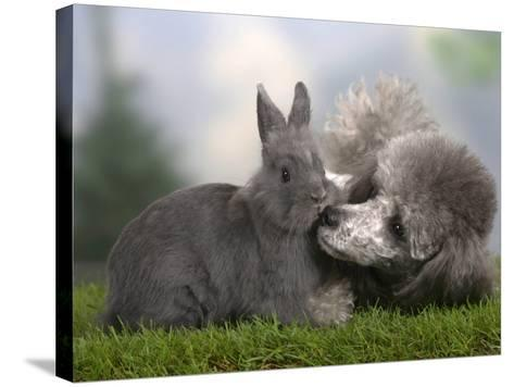 Silver Miniature Poodle Sniffing a Blue Dwarf Rabbit-Petra Wegner-Stretched Canvas Print