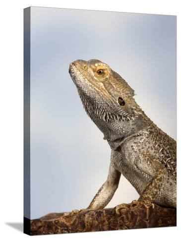Inland Bearded Dragon Profile, Originally from Australia-Petra Wegner-Stretched Canvas Print