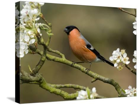 Male Bullfinch Feeding Amongst Blossom, Buckinghamshire, England-Andy Sands-Stretched Canvas Print