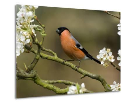 Male Bullfinch Feeding Amongst Blossom, Buckinghamshire, England-Andy Sands-Metal Print