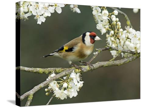 Goldfinch Perched Amongst Blackthorn Blossom, Hertfordshire, England, UK-Andy Sands-Stretched Canvas Print