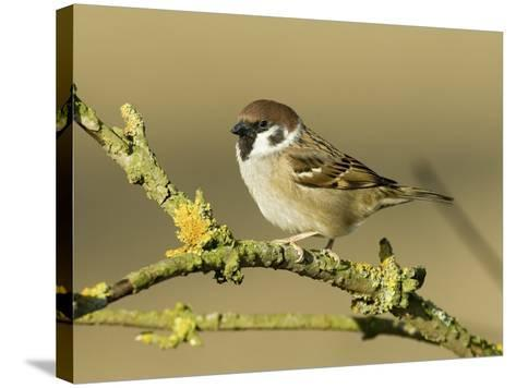 Tree Sparrow Perched on Lichen Covered Twig, Lincolnshire, England, UK-Andy Sands-Stretched Canvas Print