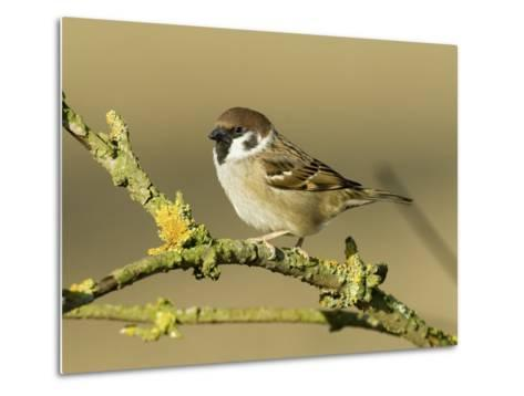 Tree Sparrow Perched on Lichen Covered Twig, Lincolnshire, England, UK-Andy Sands-Metal Print