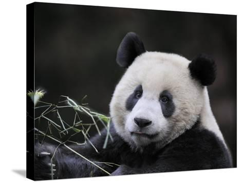 Male Giant Panda Wolong Nature Reserve, China-Eric Baccega-Stretched Canvas Print
