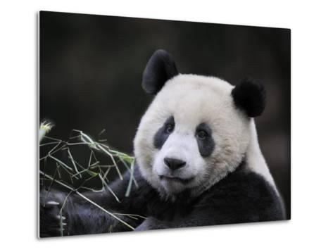 Male Giant Panda Wolong Nature Reserve, China-Eric Baccega-Metal Print