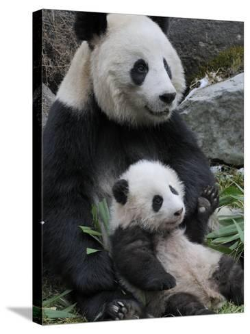 Giant Panda Mother and Baby, Wolong Nature Reserve, China-Eric Baccega-Stretched Canvas Print