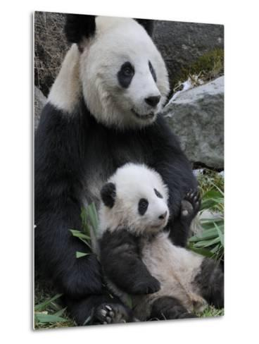 Giant Panda Mother and Baby, Wolong Nature Reserve, China-Eric Baccega-Metal Print