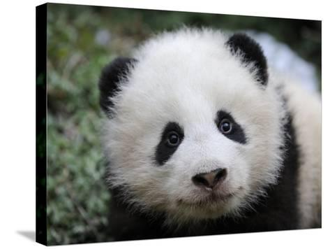 Giant Panda Baby, Aged 5 Months, Wolong Nature Reserve, China-Eric Baccega-Stretched Canvas Print