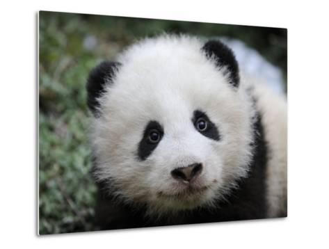 Giant Panda Baby, Aged 5 Months, Wolong Nature Reserve, China-Eric Baccega-Metal Print