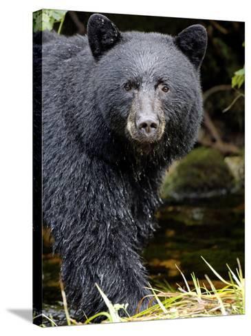 Portrait of Black Bear, Princess Royal Island, British Columbia, Canada-Eric Baccega-Stretched Canvas Print