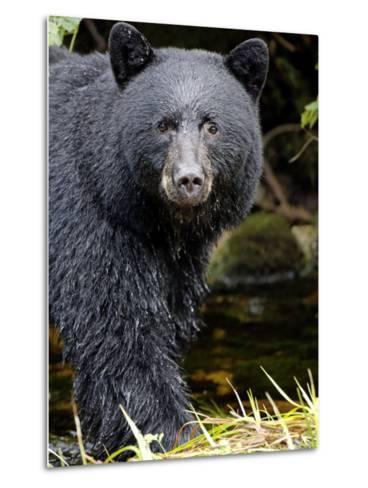 Portrait of Black Bear, Princess Royal Island, British Columbia, Canada-Eric Baccega-Metal Print