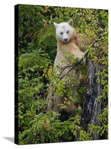 Kermode Spirit Bear, White Morph of Black Bear, Princess Royal Island, British Columbia, Canada-Eric Baccega-Stretched Canvas Print